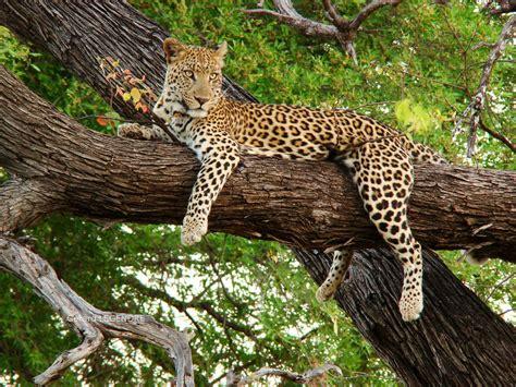 imagenes para fondo de pantalla leopardos fondos de leopardos en hd para whatsapp im 225 genes wallpappers