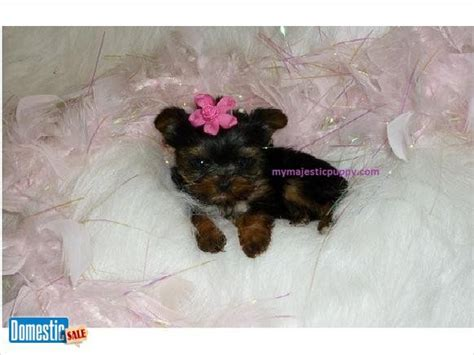baby doll teacup yorkies 17 best images about yorkie on terrier puppies pets and yorkies