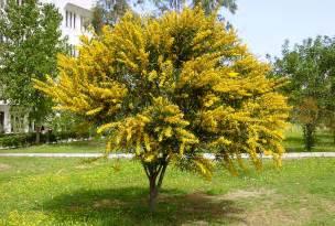 file acacia cyanophylla jpg