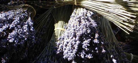 Lavendel Schneiden Und Trocknen by Lavendel Trocknen Dr Schweikart