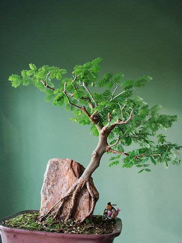 jual tanaman hias bonsai beringin  membuat tanaman