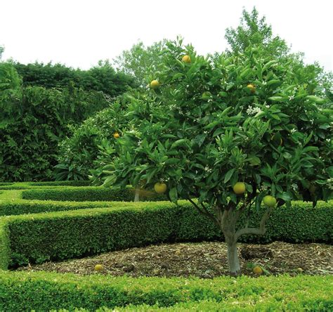 new year lime tree lime mexican key