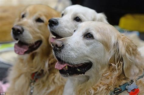 performance golden retrievers raising the woof 3 000 pooches take part in s event and battle it