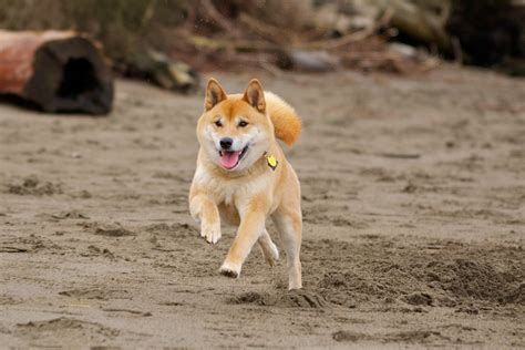running dogs dogs images shiba inu running hd wallpaper and background photos 32502200