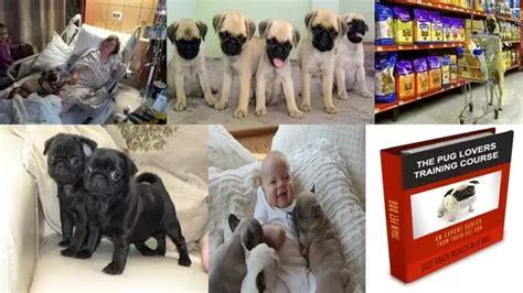 do pugs make pets do pugs make family pets quora