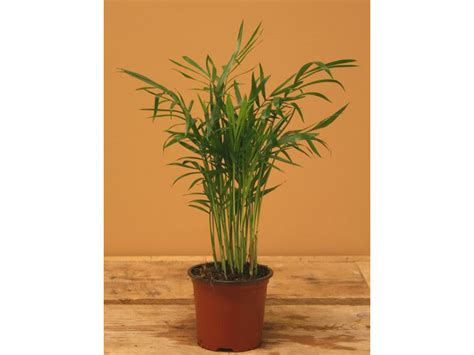 buy house plants custom 60 names and pictures of common chamaedorea elegans plant in a 17cm pot parlour palm 60