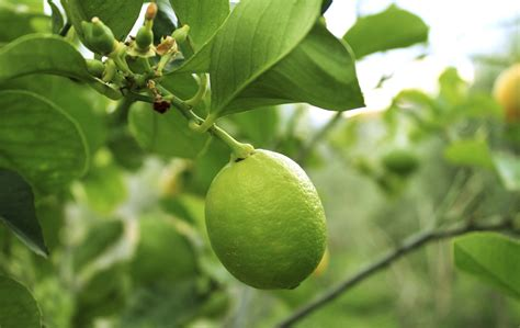 fruit tree supplies citrus tree varieties offered by waimea nurseries