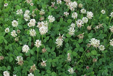 how to get rid of weeds in flower beds how to get rid of clover tomlinson bomberger
