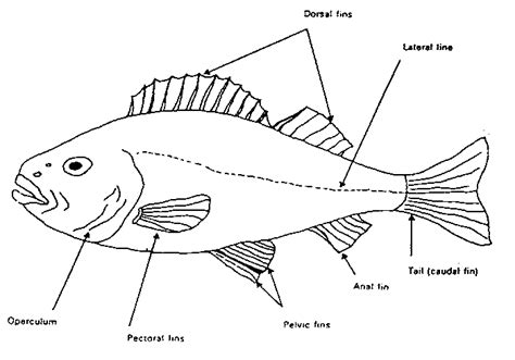 diagram of a bony fish swiop wp 22 report on the national workshop on fish