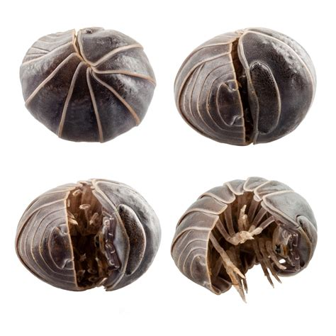 pill pugs pill bugs or sow bug infestations and pill bug problems