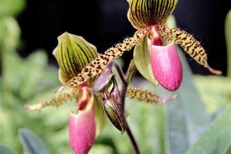 come si curano le orchidee in vaso come si curano le orchidee top with come si curano le