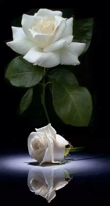 imagenes de rosas blancas para facebook 17 best images about roses gardenias magnolias on