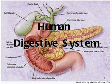 Human Digestive System Ppt Human Digestion Teacher