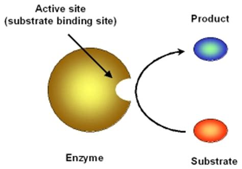 enzyme template bch4053 fall 2001 template