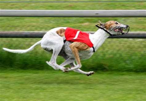 puppy race 11 things greyhounds want you to three million dogs