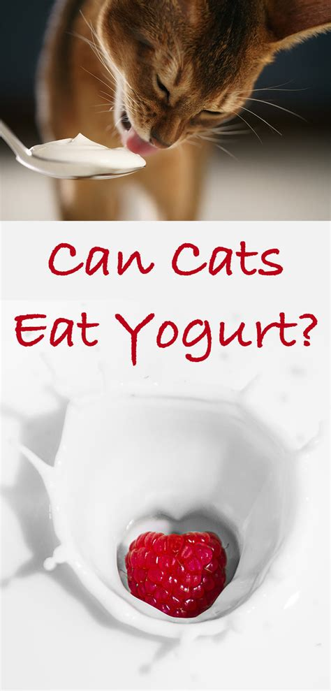 can a eat yogurt can cats eat yogurt a cat food safety guide from the happy cat site