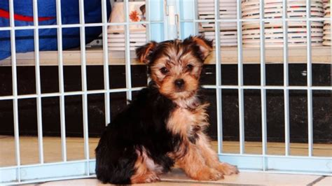 yorkie poos for sale in ga adorable yorkie poo puppies for sale in atlanta ga at atlanta columbus