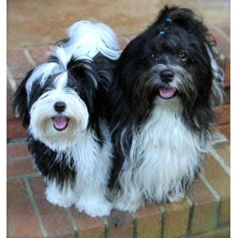 havanese rescue illinois la brisa havanese havanese breeder in easley south carolina