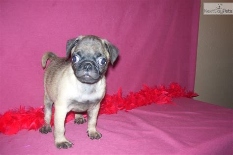 pug puppies near me pug puppy for sale near joplin missouri e5b0ba6d 2441