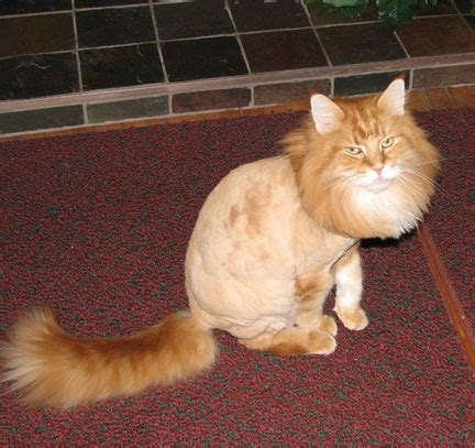 haircuts for long haired cats cat grooming and hairstyles pets wiki we know