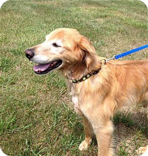 golden retriever rescue kentucky golden retriever mix for adoption in lagrange kentucky
