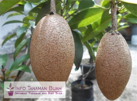 Bibit Buah Unggulan beberapa jenis tanaman buah sawo unggulan info tanaman buah