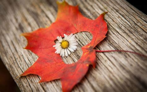 autumn flower autumn flower wallpapers images photos pictures backgrounds