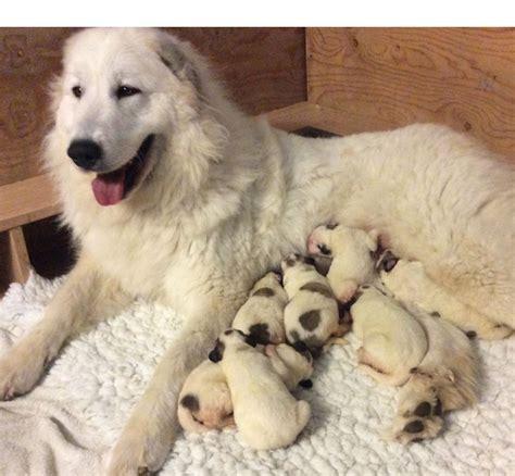 pyrenean mountain puppies pyrenean mountain puppies boston lincolnshire pets4homes