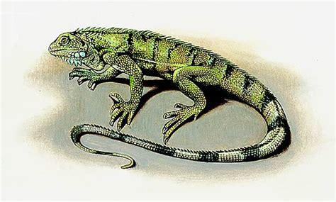 encyclop 233 die larousse en ligne iguane vert