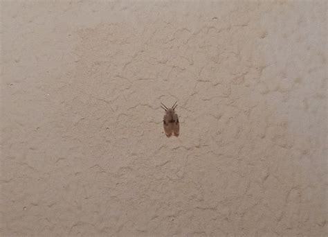 little brown bugs in house flying bugs in house www pixshark com images galleries with a bite