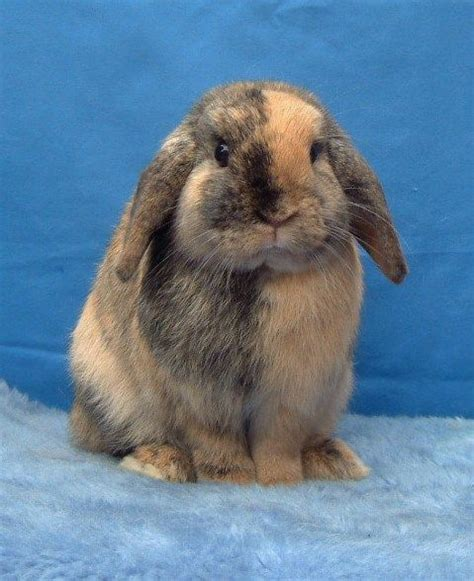 images  rabbit breeds  pinterest english