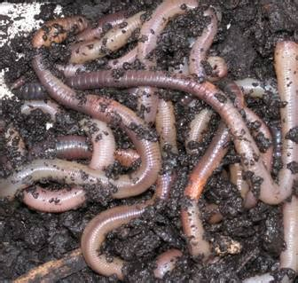 why do earthworms come out in the farmer s almanac