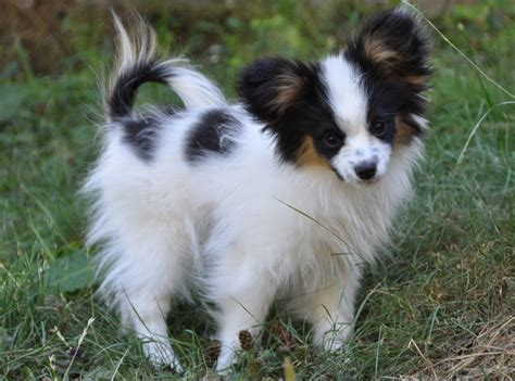 papillon puppies road s end papillons 4 months papillon puppy