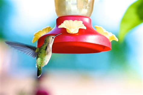 should you leave a hummingbird feeder out for stragglers