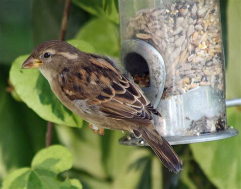 file house sparrow at feeder redhill jpg wikimedia commons