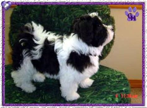 grandview havanese havanese photo gallery enumclaw wa grandview havanese