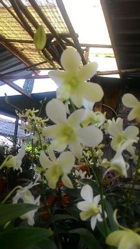 Compound Ivory Warna Putih 1 Kg Kompon Putih Untuk Poles tanaman anggrek dendrobium pale ivory bibitbunga