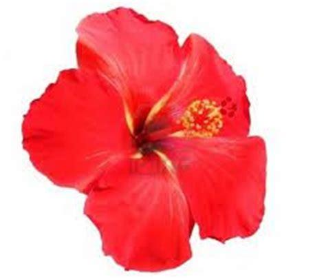bunga raya  ia dipilih sebagai bunga kebangsaan