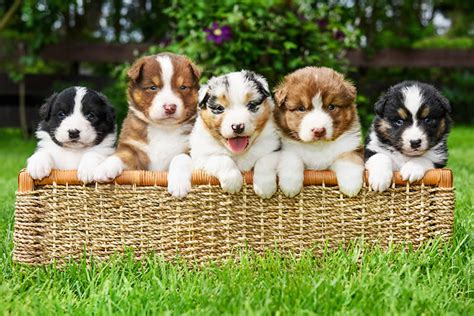 different puppies can a litter of puppies different dads petset