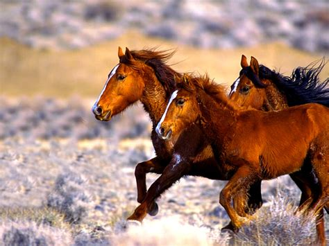mustang horse wildlife wallpapers animals backgrounds mammals desktops