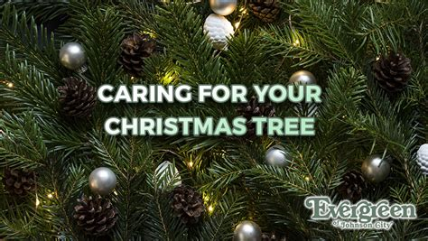 caring for your christmas tree evergreen of johnson city tn