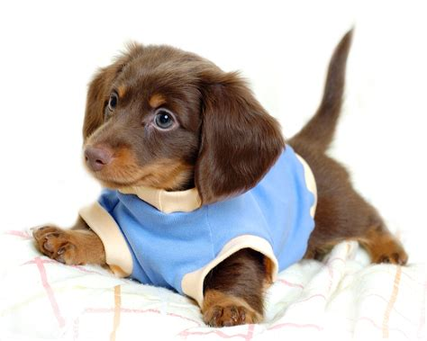 baby puppy dogs puppies images puppies hd wallpaper and background photos