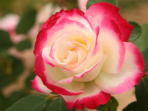 flower expert red and pink roses image red pink white rose my favorite rose a cherry parfait