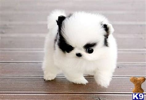 black and white teacup pomeranian for sale pomeranian puppy for sale teacup black white pomeranian 7 years