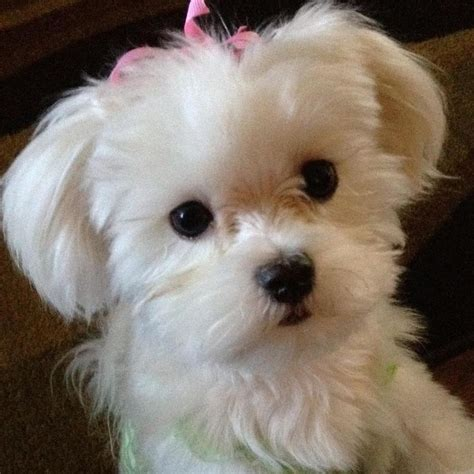 how much are maltipoo puppies best 25 maltese haircut ideas on