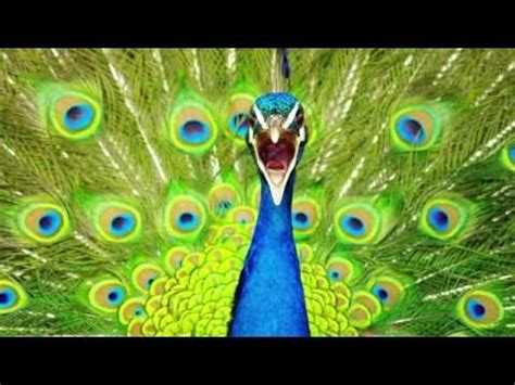 peacock call peacock sounds sounds dogs love youtube