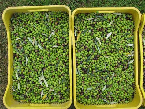 cassette raccolta olive galleria olio colle