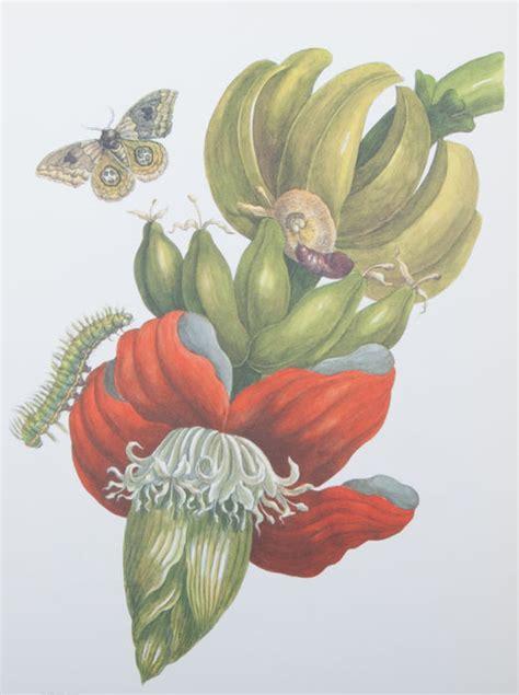 Die Sch Nsten Schmetterlinge 4950 by Kunst Sibylla Merian Die Sch 246 Nsten Tafeln Aus Dem