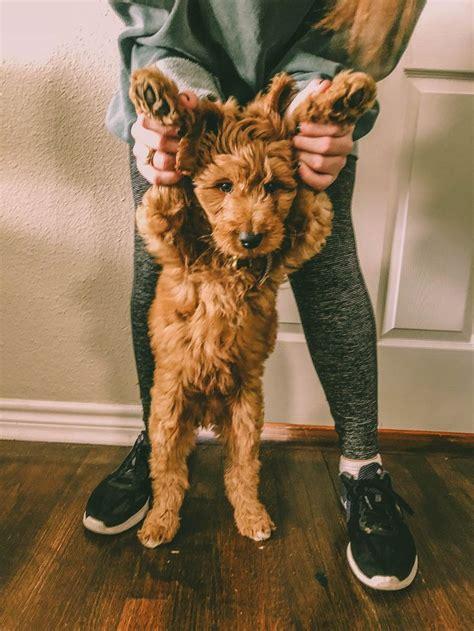 goldendoodle puppy growling m 225 s de 25 ideas incre 237 bles sobre goldendoodle rojo en