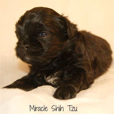 miracle shih tzu black shih tzu puppy